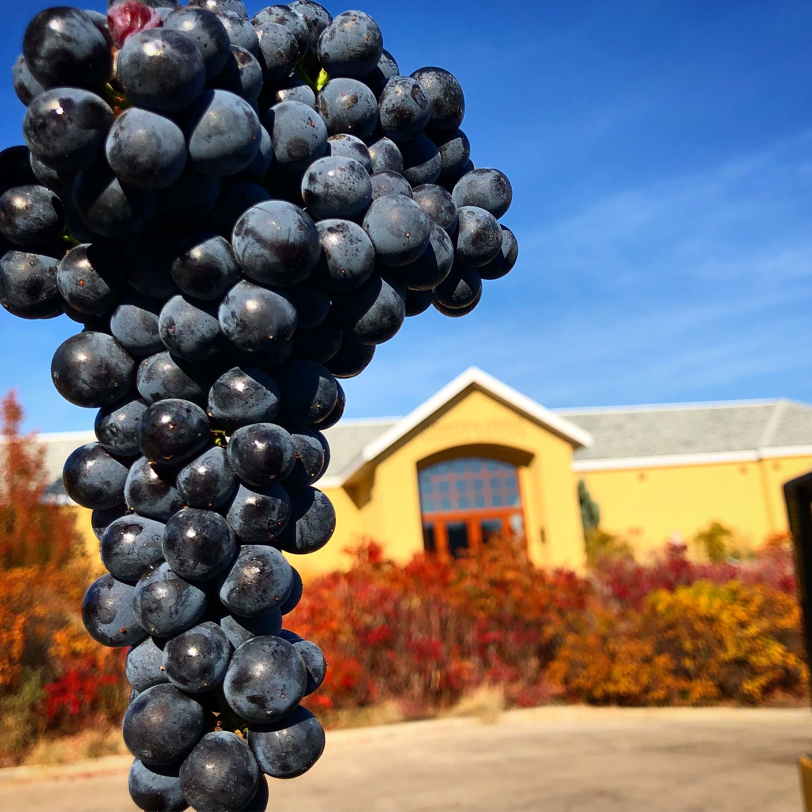 Harvesting Grapes in the Okanagan Valley  | Just Wine