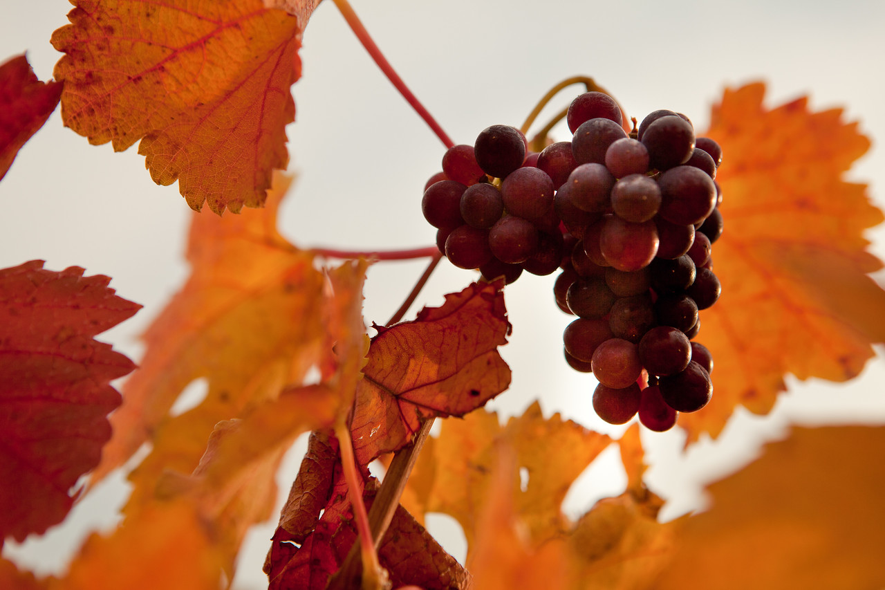 Fall Harvest in the Okanagan Valley Wine Region, British Columbia. Image Source: BCWI  | Just Wine
