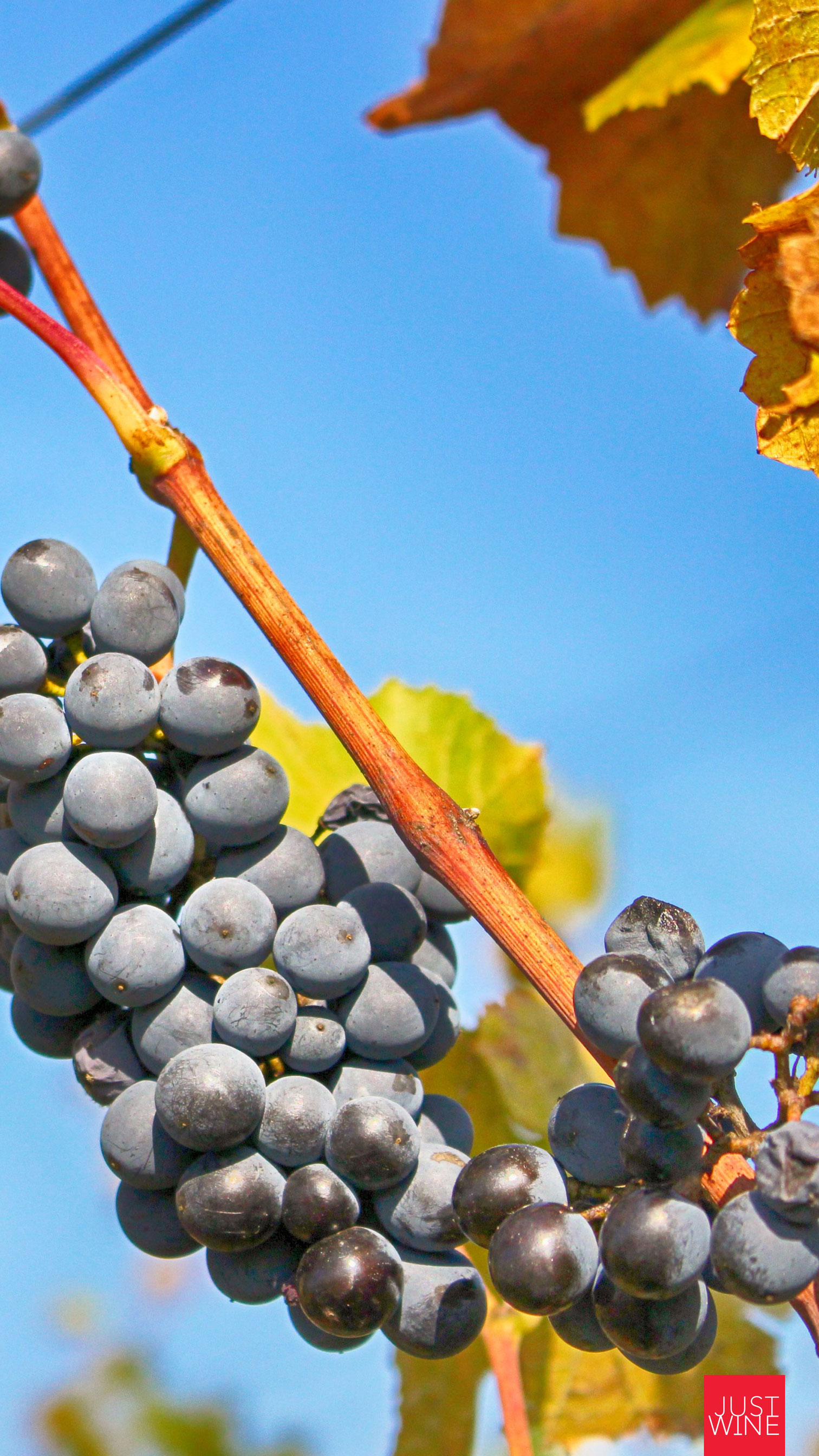 just-wine-mobile-wallpaper-grapes-harvest