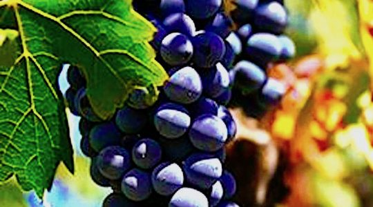 Wine Basics — Grape Varietals 101: Aglianico | Just Wine