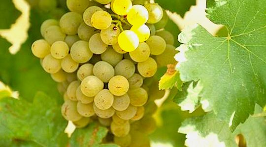 Wine Basics — Grape Varietals 101: Grüner Veltliner | Just Wine
