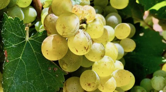 Wine Basics — Grape Varietals 101: Chenin Blanc | Just Wine