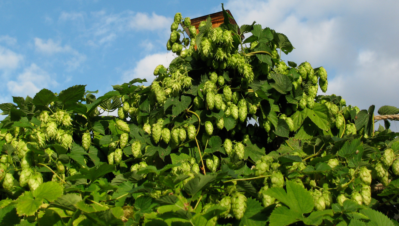 Can I Grow My Own Hops? – A Guide on Growing Hops at Home